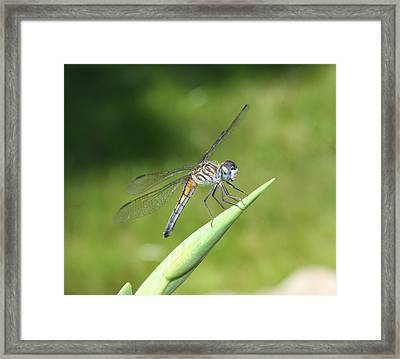 Sunbathing Dragonfly Framed Print by Daphne Sampson