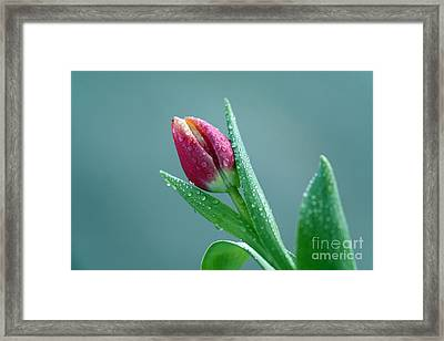 Tulip With Water Drops Framed Print by Claudia Otte