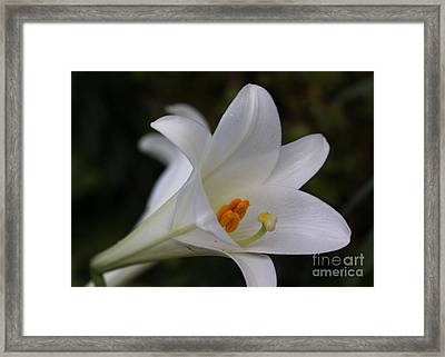 White Easter Lily Framed Print