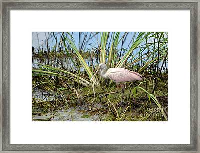 Young Roseate Spoonbill Framed Print by Kathy Gibbons