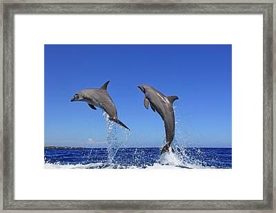 Delfin (grosser Tuemmler) Framed Print by Tier Und Naturfotografie J und C Sohns