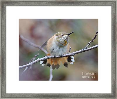 Hummingbird Stretch Four Framed Print by Suzanne Handel