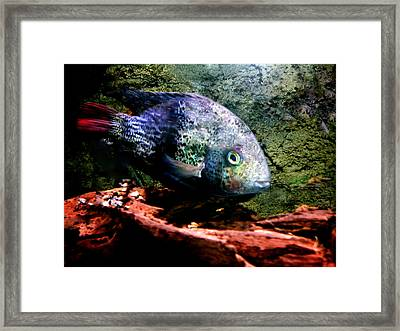 1 Fish Living In Denmark Framed Print by Colette V Hera  Guggenheim