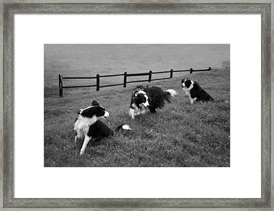 3 Collies Framed Print by Miguel Capelo