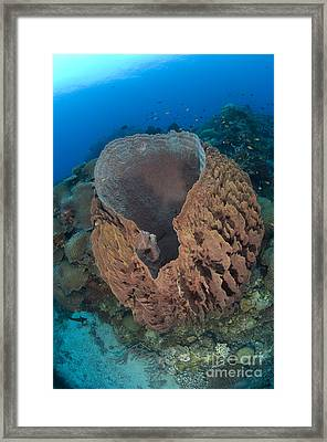 A Barrel Sponge Attached To A Reef Framed Print