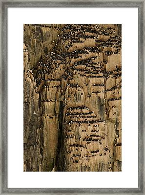 A Colony Of Little Auks Line Jagged Framed Print by Norbert Rosing