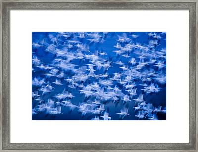 A Flock Of Snow Geese Chen Caerulescens Framed Print by Ralph Lee Hopkins