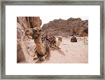 A Group Of Camels Sit Patiently Framed Print