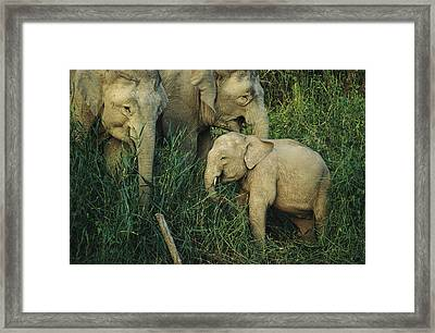 A Juvenile Asian Elephant With Two Framed Print