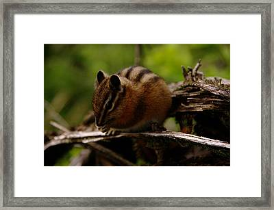 A Little Chipmunk Framed Print by Jeff Swan