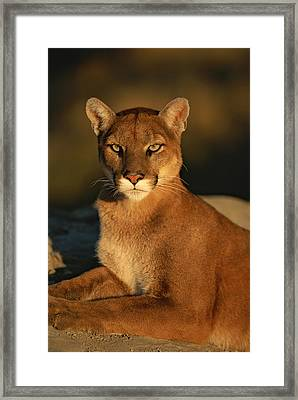 A Portrait Of A Mountain Lion Framed Print by Norbert Rosing