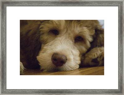 A Puppy Rests On A Wood Floor Framed Print by Joel Sartore