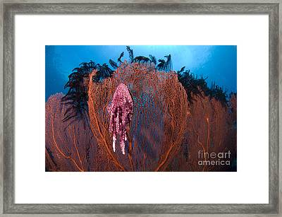 A Red Sea Fan With Sponge Colored Clam Framed Print by Steve Jones