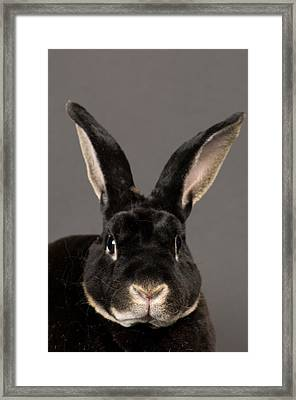 A Rex Rabbit Oryctolagus Cuniculus Rex Framed Print by Joel Sartore