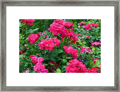 A Rose Is A Rose.... Framed Print by Tanya Tanski