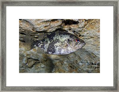 A Shadow Bass Hovers Motionless Framed Print by Terry Moore
