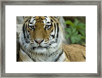 A Siberian Tiger At The Henry Doorly Framed Print by Joel Sartore
