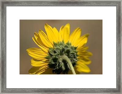 A Sunflower In Eastern Montana Framed Print by Joel Sartore