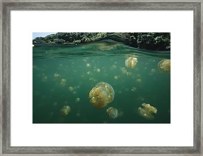 A Swarm Of Mastigias Species Jellyfish Framed Print by Tim Laman