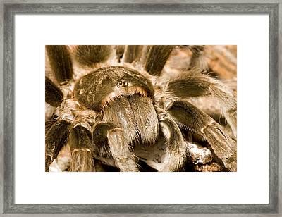 A Tarantula Living In Mangrove Forest Framed Print