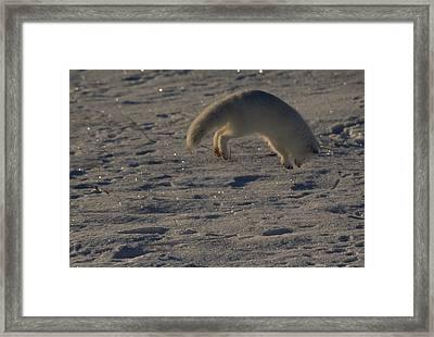 A White Arctic Fox, Alopex Lagopus Framed Print by Norbert Rosing