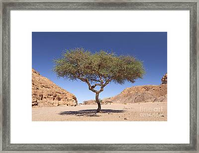 Acacia Tree  Framed Print by Roberto Morgenthaler