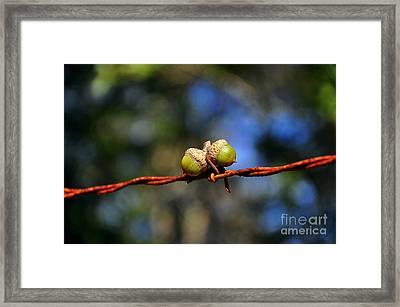 Acorns Apprehended Framed Print by Al Powell Photography USA
