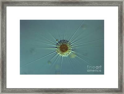 Actinophyrs Lm Framed Print by M. I. Walker