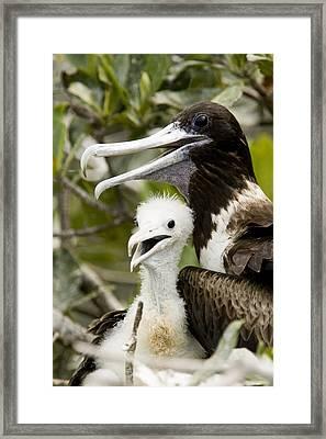 Adult Frigatebird Fregata Species Framed Print by Tim Laman