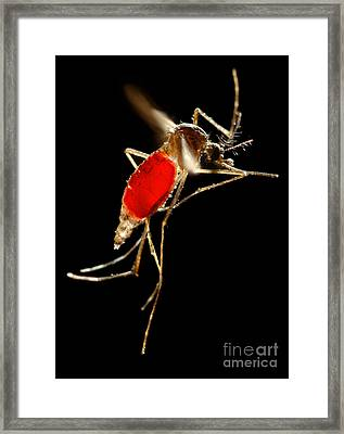 Aedes Aegypti Mosquito Framed Print by Science Source