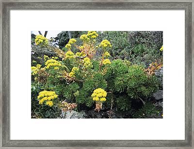 Aeonium Plants Framed Print by Adrian Thomas