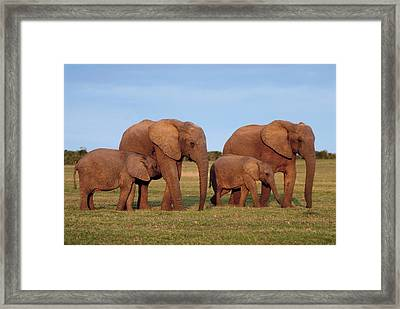 African Elephants Framed Print by Peter Chadwick