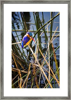 African Pigmy Kingfisher Framed Print by Ronel Broderick