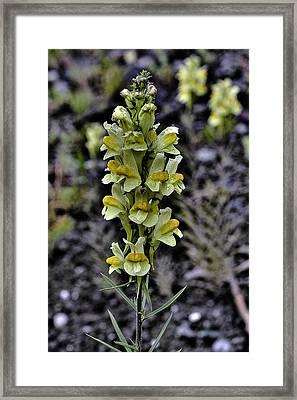 Alaska Lupine Framed Print by Grover Woessner