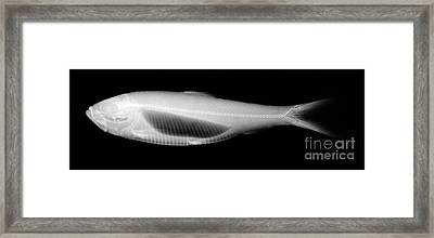 Alewife Framed Print by Ted Kinsman