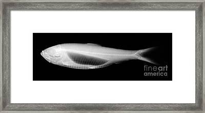 Alewife Framed Print by Ted Kinsman