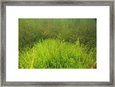 Algae Framed Print by Alexis Rosenfeld
