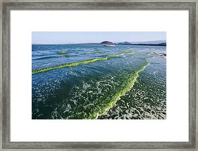 Algal Bloom Framed Print by Alexis Rosenfeld