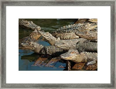 Alligator Pool Party Framed Print by Carolyn Marshall