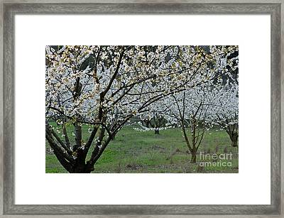 Almond Tree In Flower At Spring Framed Print by Sami Sarkis