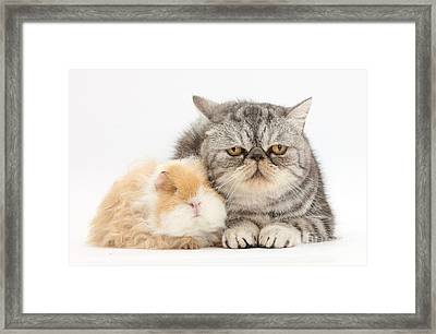 Alpaca Guinea Pig And Silver Tabby Cat Framed Print