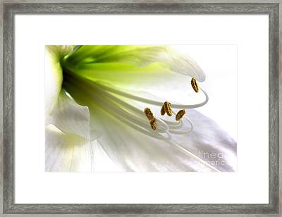 Amaryllis Framed Print by Jane Rix