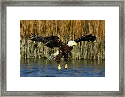 American Bald Eagle Framed Print by Paulette Thomas