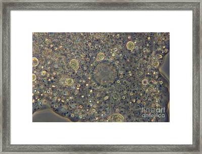 Amoeba Proteus Lm Framed Print by M. I. Walker