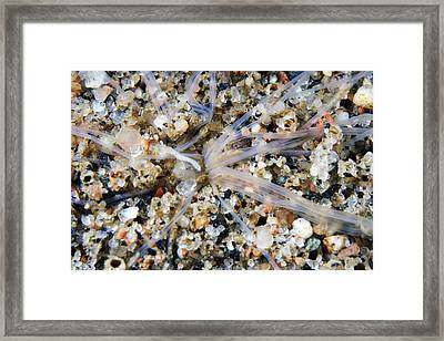 Amphitrite Worm Framed Print by Alexander Semenov