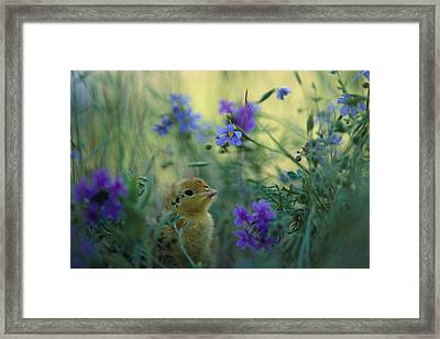 An Attwaters Prairie Chick Surrounded Framed Print by Joel Sartore