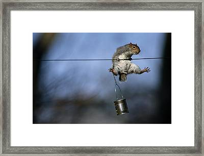 An Eastern Gray Squirrel Sciurus Framed Print by Chris Johns