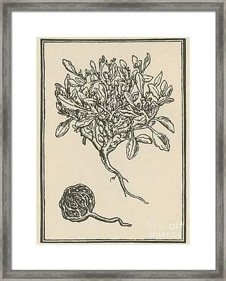 Anastatica Hierochuntica, Resurrection Framed Print