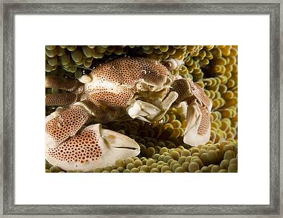 Anemone Or Porcelain Crab In Its Host Framed Print