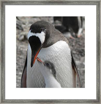 Antarctica Paradise Harbour Gentoo Penguins Framed Print by Photo, David Curtis